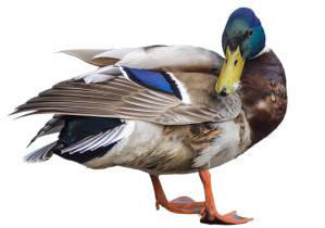 Ördek etinin faydaları